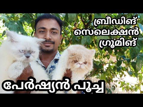 പേർഷ്യൻ പൂച്ചകളുടെ പരിപാലനം| how to care persian cat