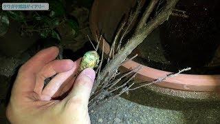 コンクリの上にイモが転がってるな〜と思ってよく見たら、蝉の幼虫。動...