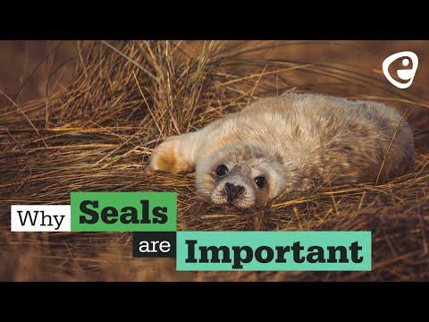 Is British wildlife important?: Grey seals
