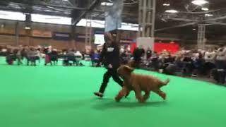 Crufts Dog Show  Briards 2016  Judge: Darren Clarke