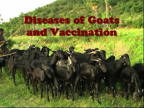 Diseases of Goats and Vaccination