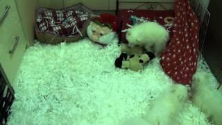 Little Rascals Uk Breeders New Litter Of Japanese Spitz