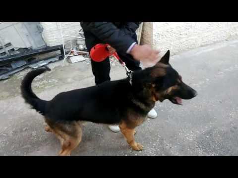 الكلب كوتي النوع جيرمن شيبرد اصبح جاهز ليشتم الرصاص وغيره مع جمال العمواسي