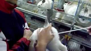 Искусственное осеменение кроликов - оплодотворение кроликоматок(Искусственное осеменение кроликов - оплодотворение кроликоматок., 2015-02-02T08:07:14.000Z)