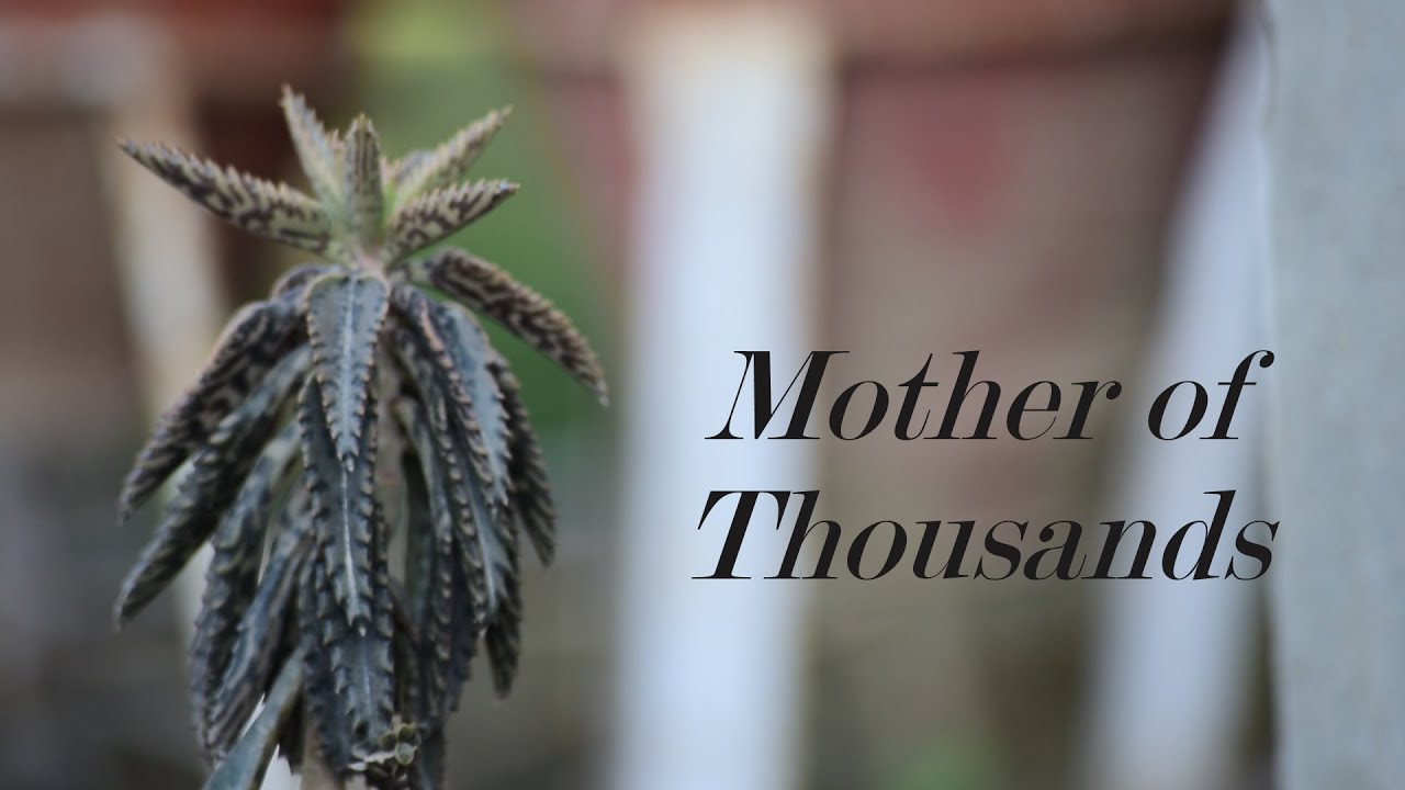 How To Grow And Care Mother Of Thousands Plant Succulent Plant