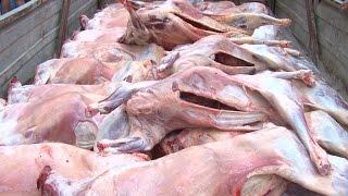 Районы  и города Дагестана получают жертвенное мясо животных