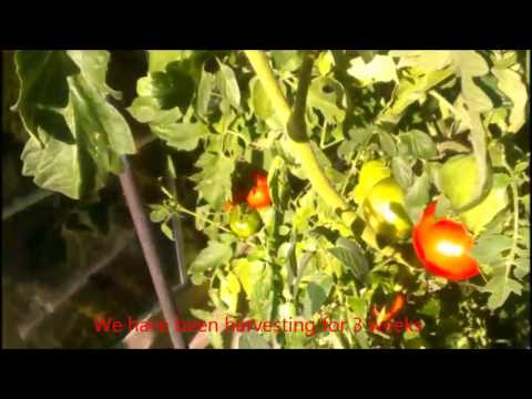 how-to-grow-9-feet-tall-tomato-plants
