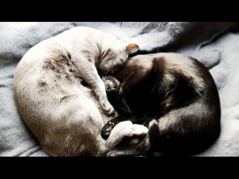 Sweet sleeping cats  | Relaxing | Ebony & Silver |