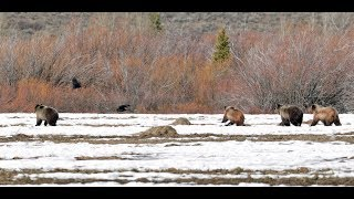 "Wildlife Photography - Grizzly 399 "" The Chase""  4K - Jackson Hole / Grand Teton National Park"