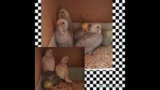 Muhabbet Kuşları Son Yavrularımız da Yeme düştü