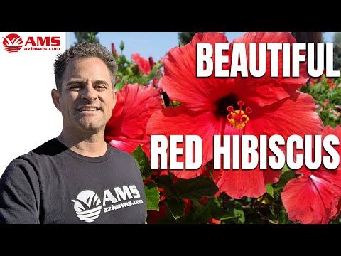Everything About The Red Hibiscus In Phoenix