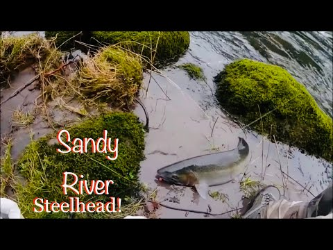 Sandy river first steelhead of 2018 tips and tutorials for Sandy river fishing report