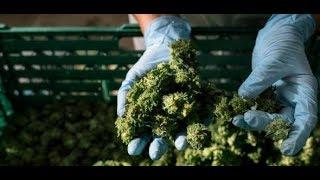 Frag deinen Apotheker: Darf man Cannabis bald als Genussmittel kaufen?