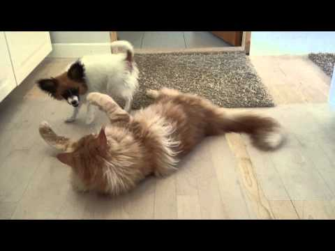 Maine coon vs papillon /chihuahua playing