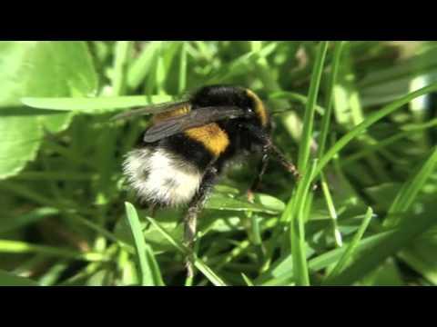 Bumblebee Hummel (Bombus)