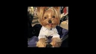FUNNY AND CUTE YORKIE DOGS AND PUPPYS
