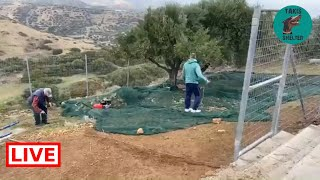 Good morning! Harvest time for the olive trees in the shelter  Takis Shelter