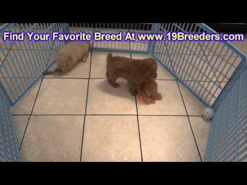 Golden Doodle, Puppies, For, Sale In Toronto, Canada, Cities, Montreal, Vancouver, Calgary