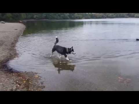 Cute Husky Puppy Afraid of Swimming