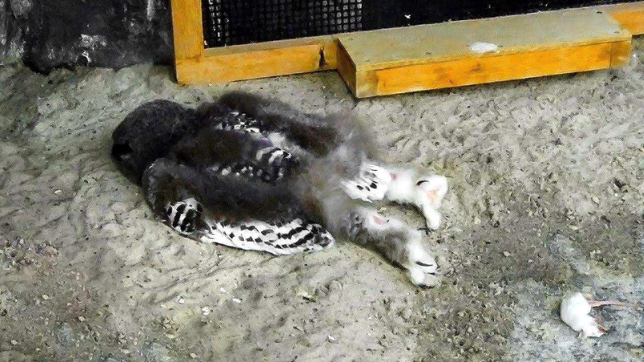 Baykuşlar Neden Bu Şekilde Uyur ? - Hayvanların Uyuma Şekilleri