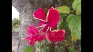 花は咲く(歌詞入り) 歌・玉木千春