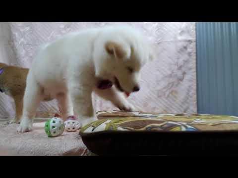 PuppyFinder.com : White Shiba Snowy-3