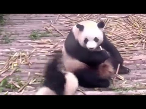 Cute alert! Panda cub throws tantrum after being ignored by mom
