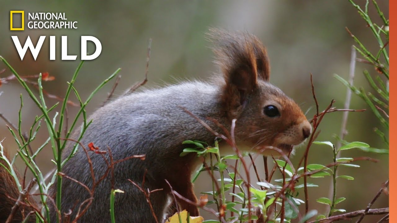 Red Squirrels Steal Acorns | Wild Nordic