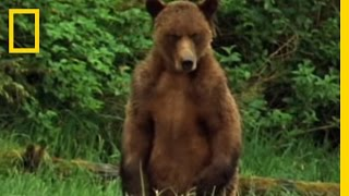 Alaska Brown Bear Trapped | National Geographic