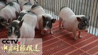[中国财经报道] 关注生猪市场供应 农业农村部:生猪产能呈现积极恢复势头 猪肉价格涨势趋缓   CCTV财经