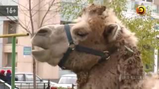 В Казани из домашнего питомника сбежал верблюд