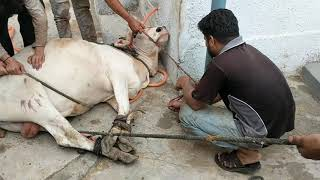 Beautiful Cow Qurbani at Bakra Eid 2019 Eid ul Adha 2019 Qurbani Eid 2019