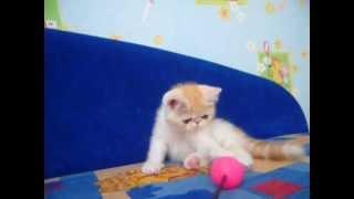 экзотическая короткошерстная кошка купить