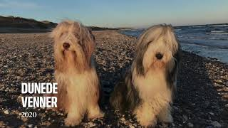Bearded collie  Beach and homelife 2020 mass & findus