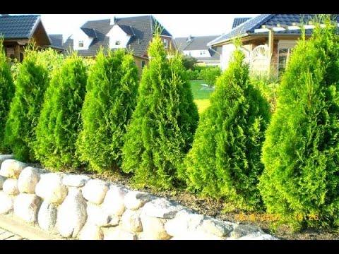 Туя вечнозеленый кустарник или дерево, которая пользуется большой. Вы можете недорого купить саженцы от крупных производителей из лучших.