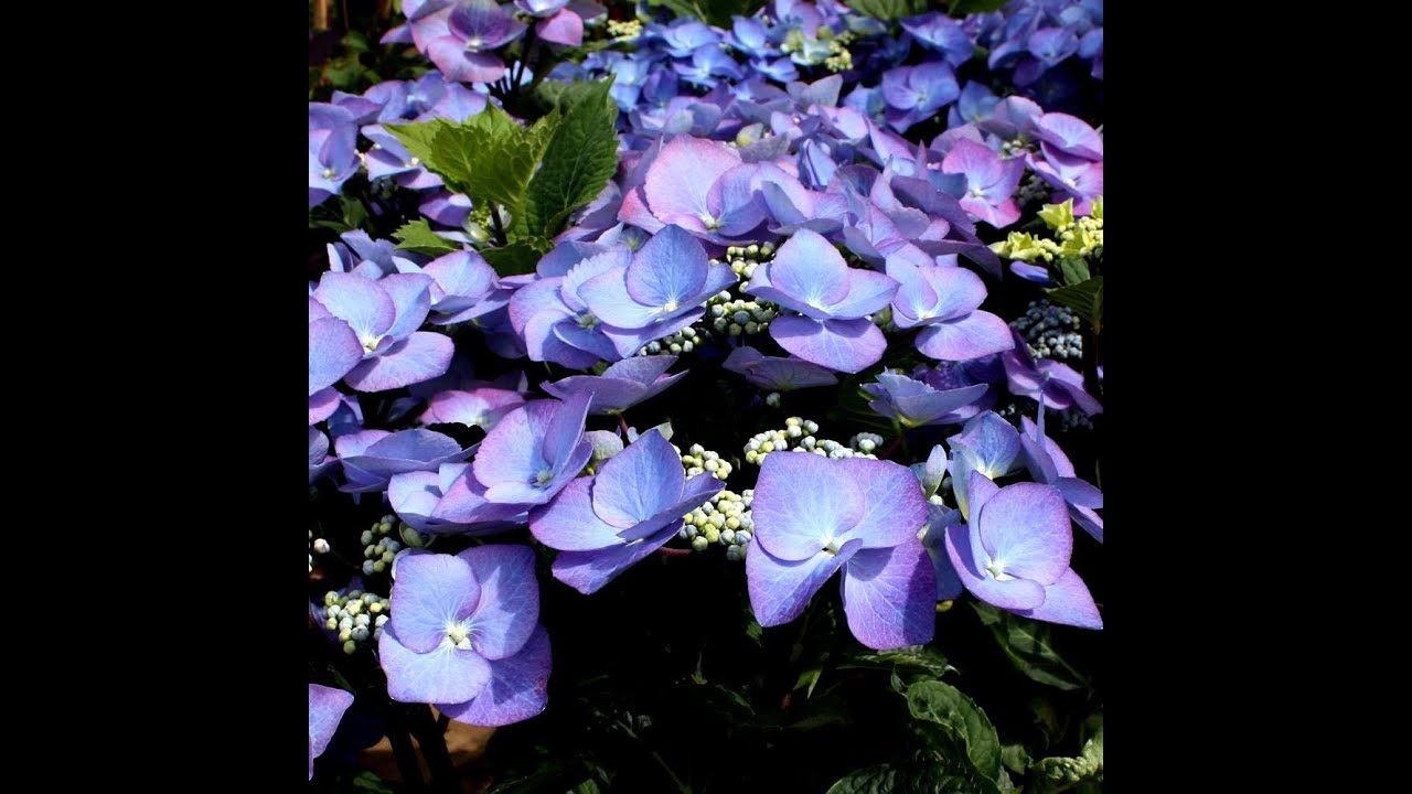 Image Result For Best Blue Flowers For Your Garden