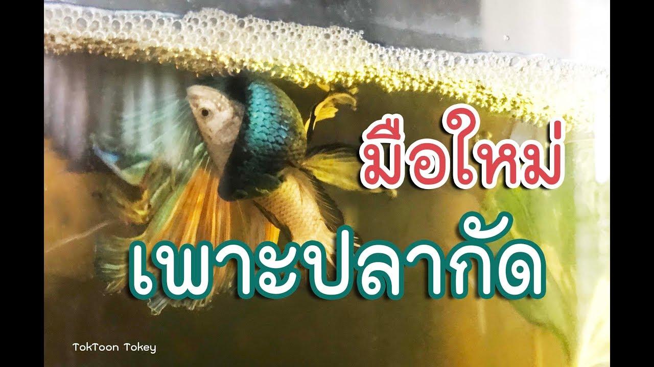 ปลากัดรัดกันไข่ล่วงเต็มเลย มาดูกันมันรัดกันยังไง