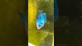 Cutest Blue Flowerhorn  Gar Fish  Legendary Fins