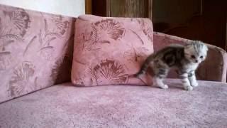 Продажа шотландских вислоухих котят в Иваново!