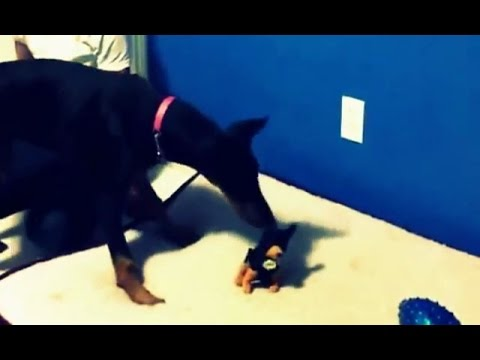 Doberman Gets Scared By A Mini Stuffed Toy Hilarious Video Youtube