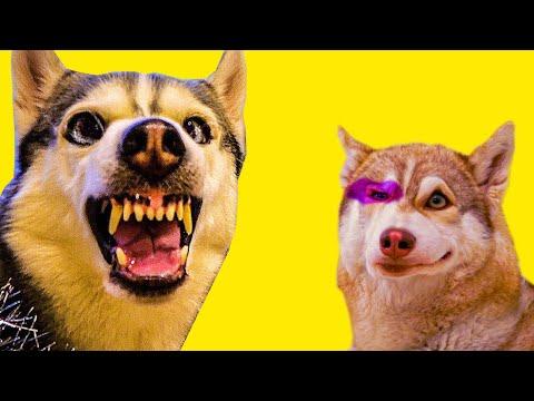 Я ПОБИЛ БУБЛИКА!!! (Хаски Бандит) Говорящая собака