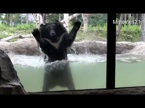 ひとりではしゃぐヒマラヤグマ トモ〜Asian Black Bear in pool
