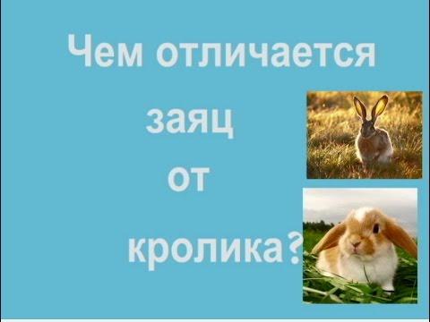 Чем отличается заяц от кролика?