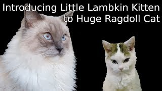 How a Lambkin kitten becomes best friends with a Huge Ragdoll cat | 5 days in 10 minutes