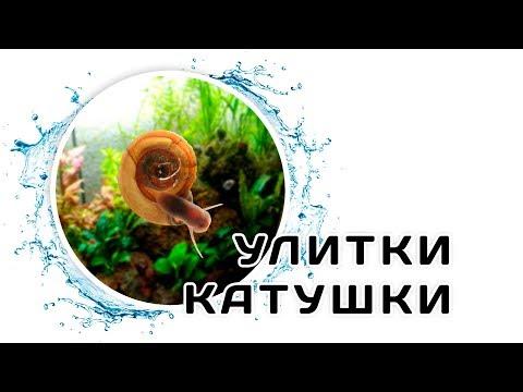 Вопрос: Есть ли у аквариумных улиток жабры?