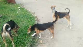 Dogs Running Playing - Dogs - Cute Dogs - Dogs Videos - Funny Dogs - Funny Dogs Videos