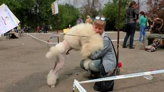 Милашка! Большой Королевский Пудель. Cutie! The Great Royal Poodle.