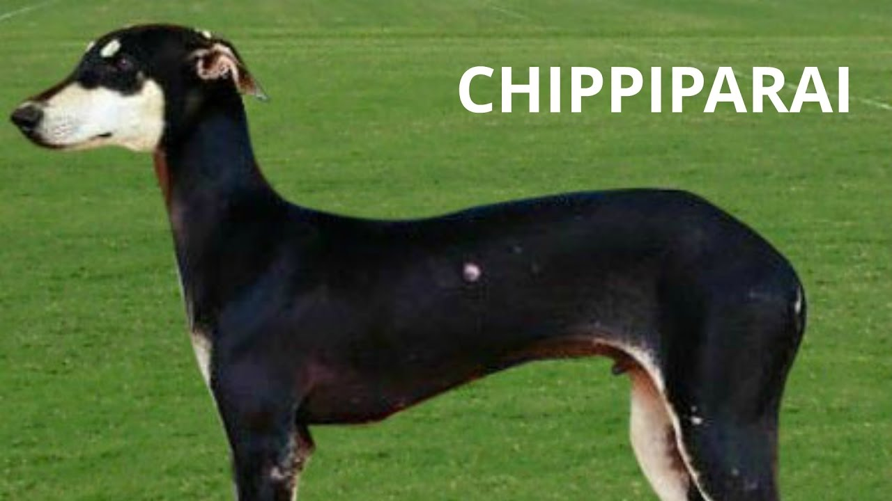 Chippiparai A Dog Breed From India Dog Breeds Dogs