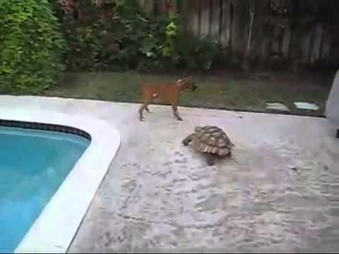 Как бегают черепахи