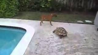 Бегающая черепаха.